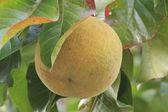 Santol fruit — Stock Photo