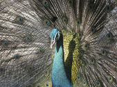 Peacock in flair — Stock Photo