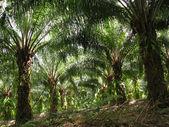 árbol de palma de aceite — Foto de Stock