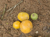 Gourka Fruit — Stock Photo