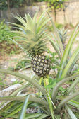 Pineapple Plant and Fruit — Stock Photo