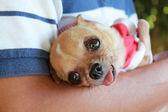 Chihuahua de exploração do homem — Fotografia Stock