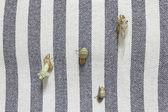 Cicala emergenti — Foto Stock