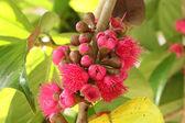 Malay rose apple flower — Stock Photo