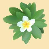 Frangipani plumeria with leaves — Stock Vector