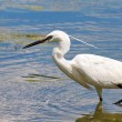 Little Egret, Egretta garzetta — Stock Photo