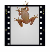 Blank film strip frame and tree frog isolated on white — Stock Photo