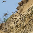 Stock Photo: Colony of swallows, Sand Martin breeding colony