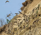 Colony of swallows, Sand Martin breeding colony — Stok fotoğraf