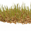 Germination of wheat isolated on white background, with clipping path — Stock Photo