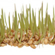 Germination of wheat isolated on white background, with clipping path — Stock Photo #17443493