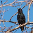 Common Starling, Sturnus vulgaris — Stock Photo #23831063