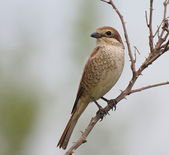 Red backed Shrike, Lanius collurio — Stock Photo