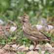 Crested Lark, Galerida cristata — Stock Photo