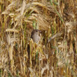 Immature sparrow in field wheat background — Stock Photo
