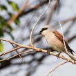 Stock Photo: Red backed Shrike, Lanius collurio