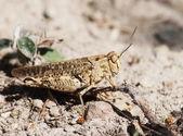 Brown grasshopper — Stock Photo