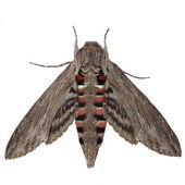 Convolvulus Hawk-moth, (Agrius convolvuli) Gray moth isolated on white background — Stock Photo