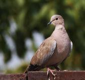 Eurasian Collared dove, Streptopelia decaocto — Stock Photo