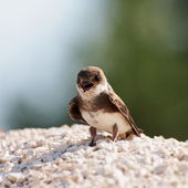 Swallow Sand Martin riparia riparia — Stock Photo