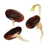 Macro germinating bean isolated on white background (set) — Stock Photo