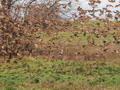 Flock of birds, Sparrows in flight, Tree Sparrow, Passer montanus — Stock Photo