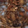 Stock Photo: House Sparrow on branch, Passer domesticus
