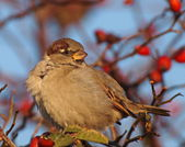 House Sparrow on branch, Passer domesticus — Stock Photo