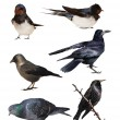 Set birds isolated on white background, Jackdaw, Barn Swallow, Rook, Starling, Pigeon — Stock Photo #39041111