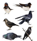 Set birds isolated on white background, Jackdaw, Barn Swallow, Rook, Starling, Pigeon — Stock Photo
