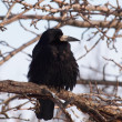 Stock Photo: Rook, Corvus Frugilegus