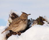 Crested Lark in winter time, Galerida cristata — Stock Photo