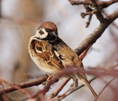 Sparrow on branch, tree sparrow, passer montanus — Stock Photo