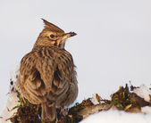 Crested Lark in winter time, Galerida cristata — Photo