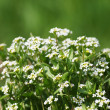 Small beautiful white flowers on meadow — Stock Photo #43142211