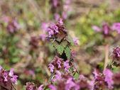 Flowering dead nettle on meadow, Lamium purpureum — Stock Photo