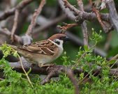 Sparrow in spring, tree sparrow, passer montanus — Stock Photo