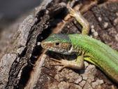 Eastern Green Lizard (female) , Lacerta viridis — Stock Photo