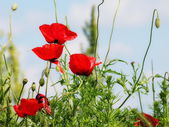 Poppy flower in sky — Stock Photo