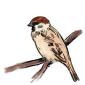 Sketch sparrow on branch isolated on white, tree sparrow, passer montanus — Stock Photo