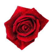 Red rose with water droplets isolated on white background — Stock Photo