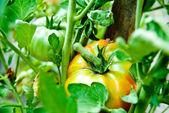 Tomato growth — Stock Photo