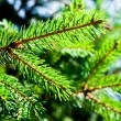 Photo: Green fir