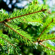 Stockfoto: Green fir