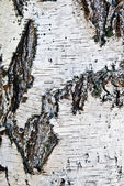 Birch bark — Stock Photo