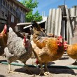 Chicken on a farm — Stock Photo #29588465