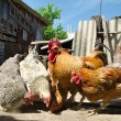 Chicken on a farm — Stock Photo #29588689