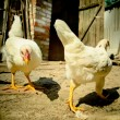 Chicken on a farm — Stock Photo #32497115