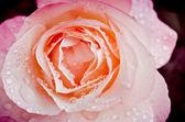 Rosa con gotas — Foto de Stock