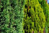 Zielony żywopłot — Zdjęcie stockowe